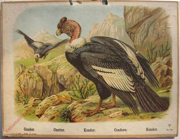 770 - Condor, Cuntur, Kondor, Condore, Kondor